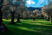 Olivi secolari a Venafro
